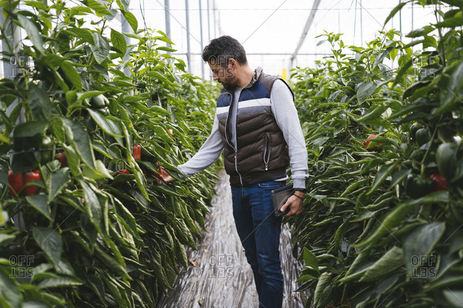 Man checking bell peppers plants in a greenhouse- Almeria- Spain