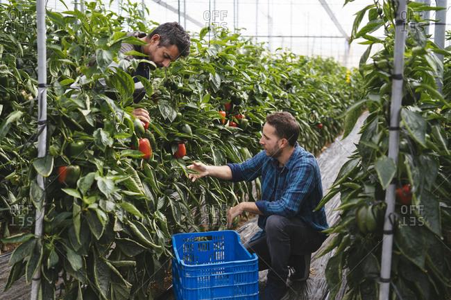 Men harvesting bell peppers in a greenhouse- Almeria- Spain