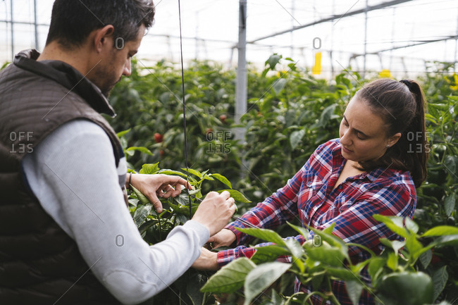 Man and woman harvesting bell peppers in a greenhouse- Almeria- Spain