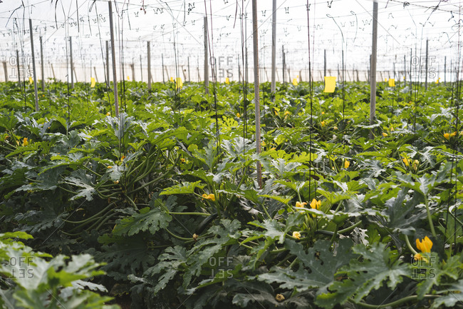 Zucchini plants in a greenhouse- Almeria- Spain