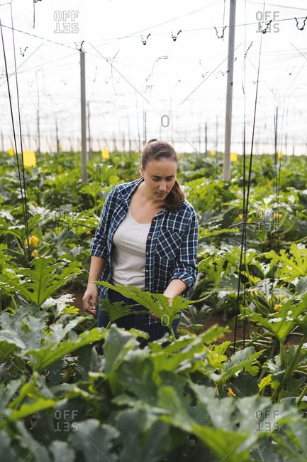 Woman checking zucchini plants in a greenhouse- Almeria- Spain