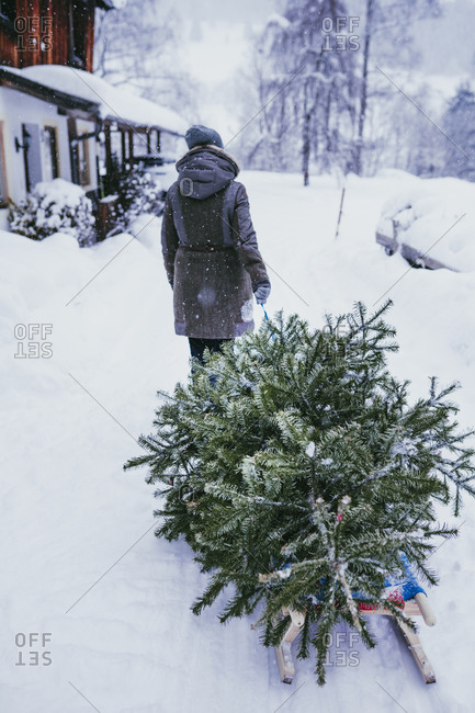 Back view of woman transporting fir tree on sledge to the compost after Christmas- Jochberg- Austria
