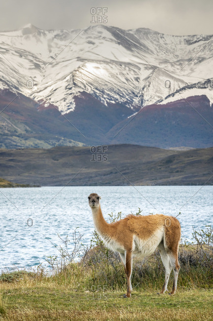 Guanaco in front of snowcapped mountains, Laguna Azul, Torres del Paine National Park, Magallanes Region, Patagonia, Chile