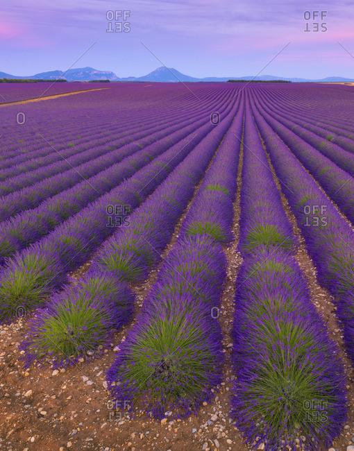France, Provence Alps Cote d'Azur, Haute Provence, Valensole Plateau, Lavender Fields at dusk
