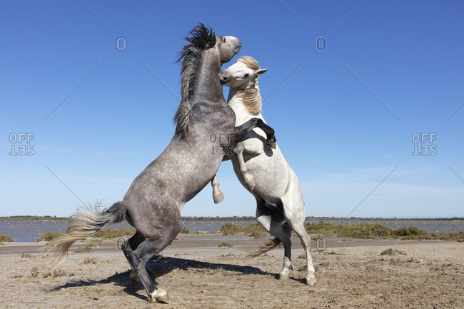 Europe, France, Provence-Alpes-C�te d'Azur, Bouches-du-Rhone, Camargue, Saintes-Maries-de-la-Mer, Two stallions spar  on the beach in the Camargue