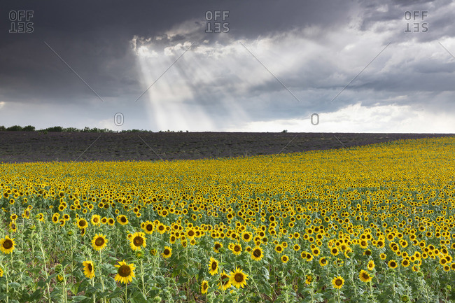 Europe, France, Provence-Alpes-Cote d'Azur, a field of sunflowers with a stormy sky on the plateau de Valensole