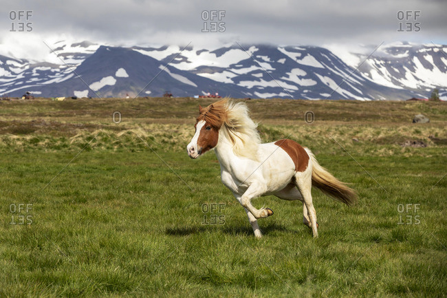 Iceland, Akureyri, a multi-coloured Icelandic horse gallops in a meadow in North Iceland