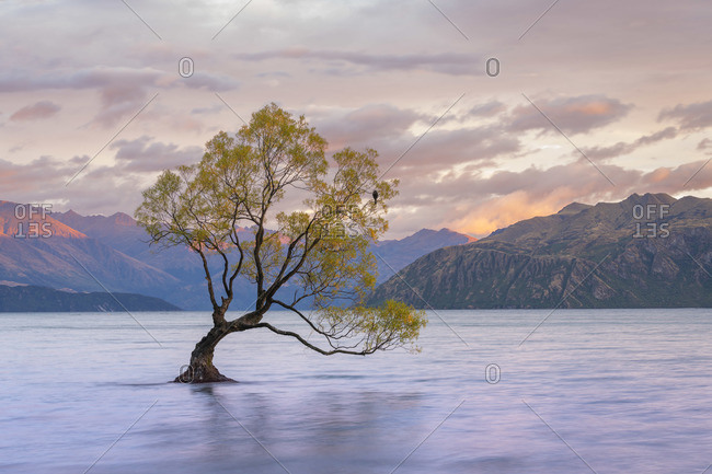 Popular lone tree in Roys Bay on Wanaka Lake at sunrise with mountains in background, Wanaka, Queenstown-lakes District, Otago Region, South Island, New Zealand