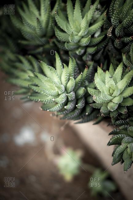 Detail of the succulent plant Haworthia fasciata an urban garden on the Mediterranean coast