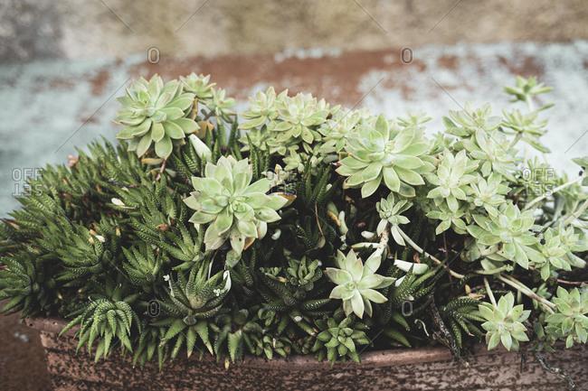 Detail of succulent plants in a Mediterranean garden
