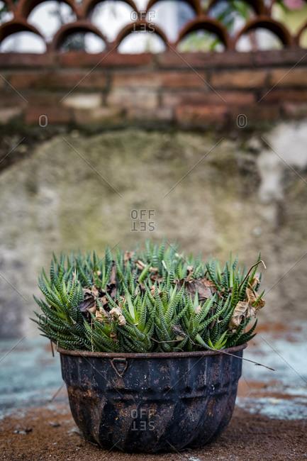 Potted succulent plant Haworthia fasciata in an urban garden