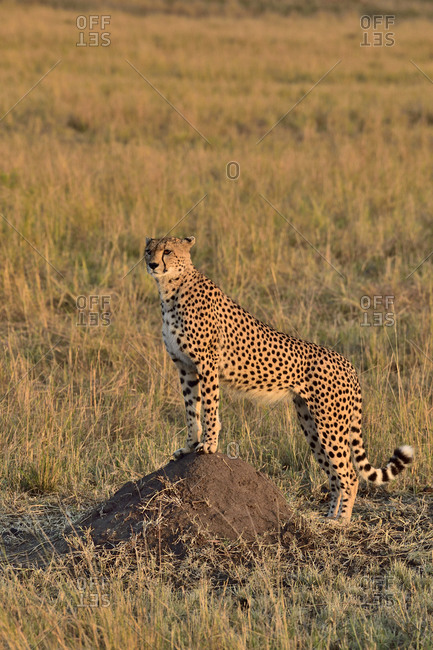 A cheetah watches over the savannah