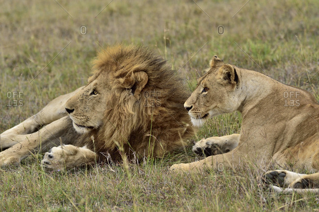 A male & female lion rest on the savannah