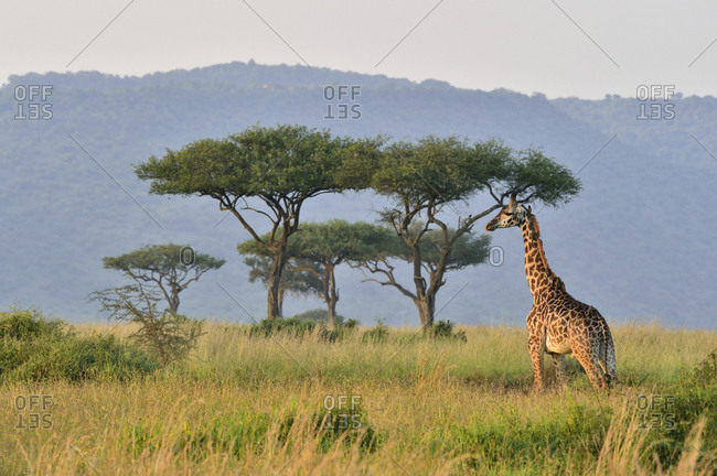 A giraffe walks the savannah