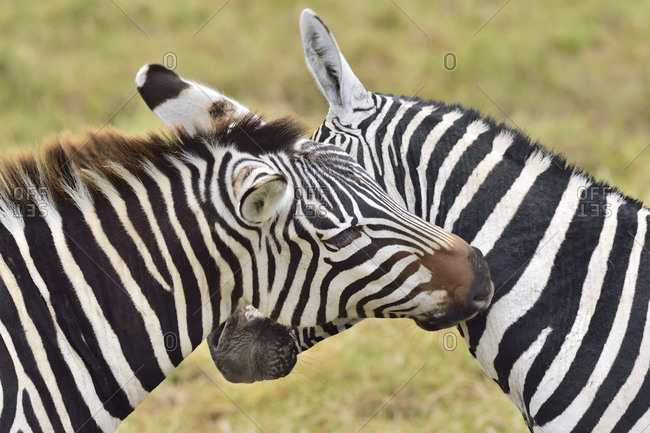 Zebras scratch each other