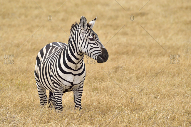 Beautiful zebra on the savannah