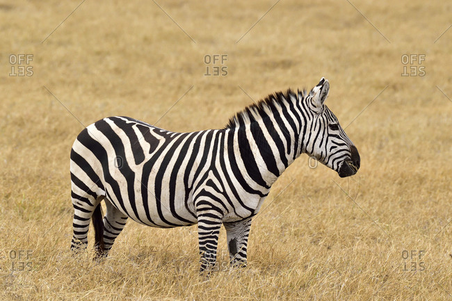 A zebra eats grass on the savannah