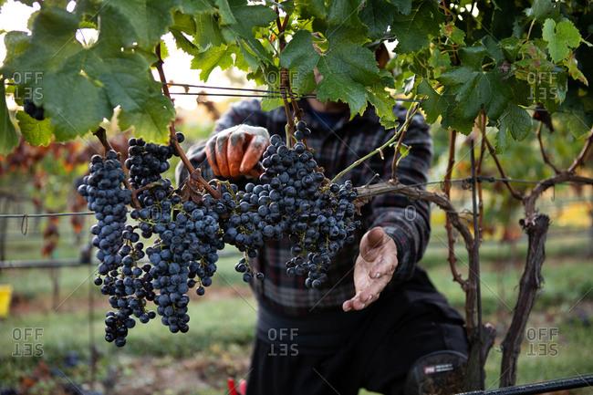 September grape harvest merlot