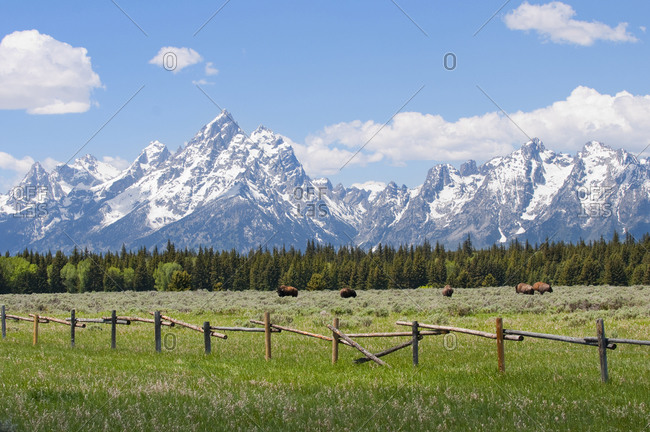 Teton mountain range and american bison in a field behind a wood fence