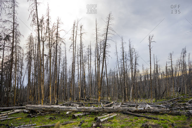 Aftermath of a wildfire in a forest