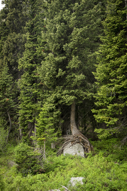 An evergreen trees roots hugs a large rock in the forest