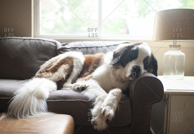 Large saint bernard dog resting on couch in pretty light at home