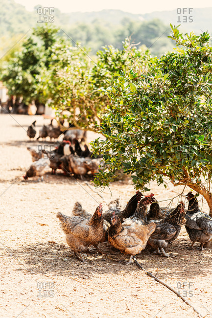 Group up chickens standing in shade under bush