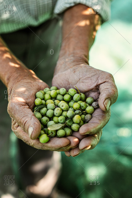 Old man holding handful of green berries