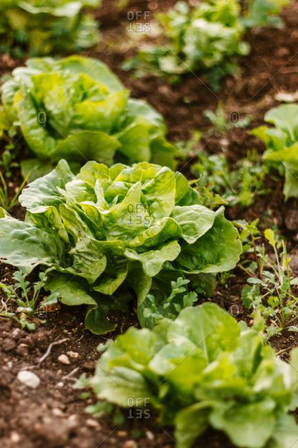 Fresh green lettuce growing in a garden