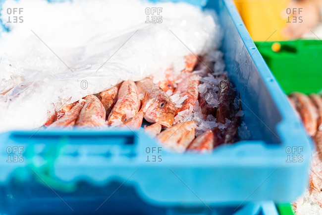 Red fish on ice in a blue container