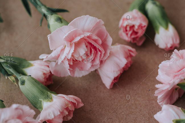 Soft pink carnation flowers on light background