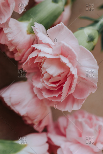 Close up of soft pink carnation flowers on light background