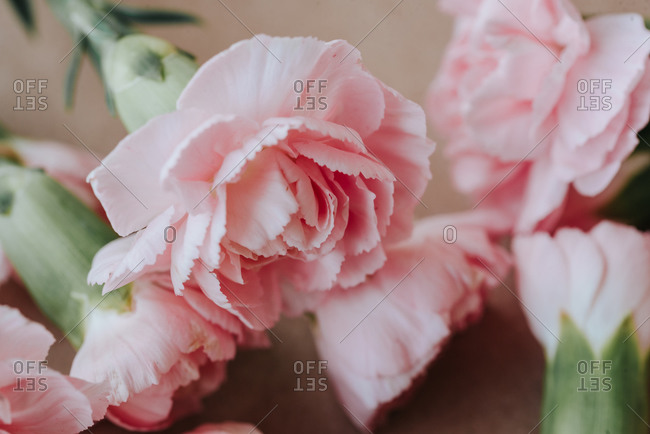 Pastel pink carnation flowers on light background