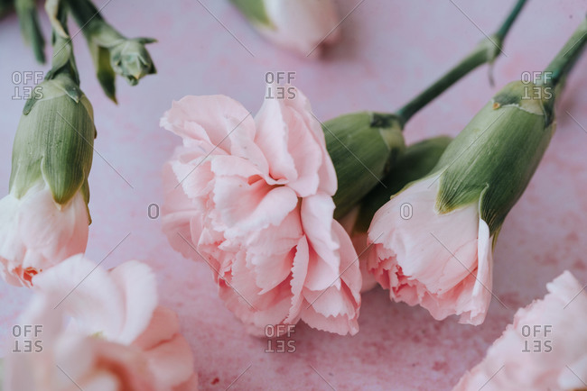 Soft pink carnation flowers on pink background
