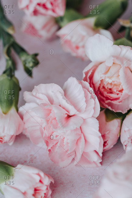 Pink carnation flowers on pink background