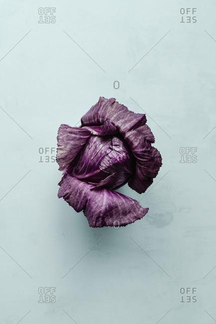 Fresh violet cabbage on light blue background