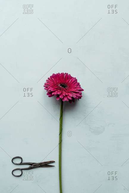 Pink gerbera daisy on a light blue background with scissors