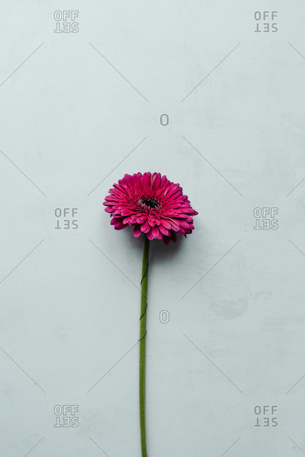 Pink gerbera daisy on a light blue background