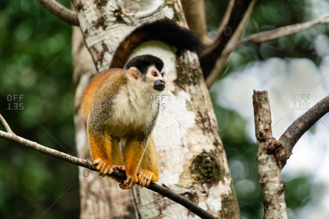 Squirrel monkey on a tree branch