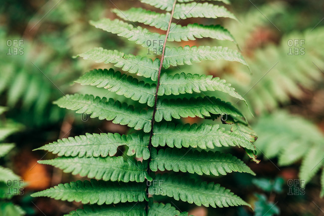Close up of leaves on a fern plant in the woods