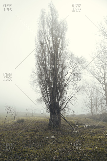 Spain- Valverde de Campos- Bare tree in field on foggy day