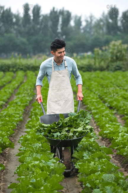 Asian family picking vegetables outdoor