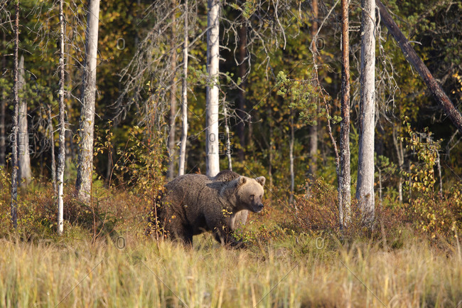 Finland- Kuhmo- Brown bear (Ursus arctos) in autumn boreal forest