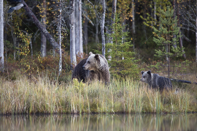 Finland- Kuhmo- Brown bear (Ursus arctos) family at boreal forest lakeshore in autumn