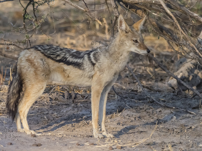 An adult black-backed jackal (Canis mesomelas), in the Okavango Delta, Botswana, Africa