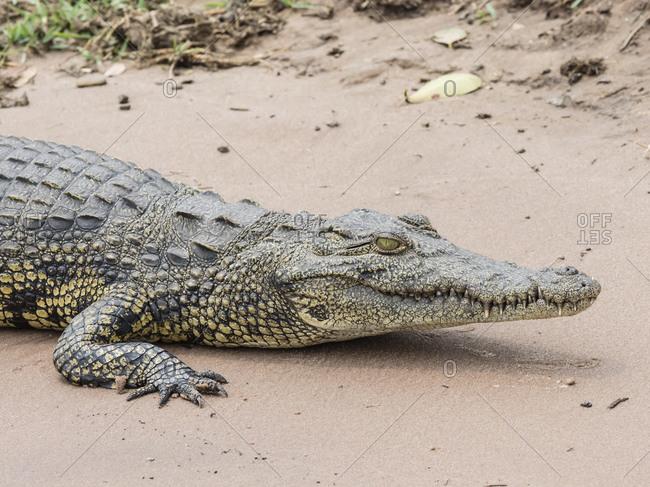 An adult Nile crocodile (Crocodylus niloticus) in Chobe National Park, Botswana, Africa