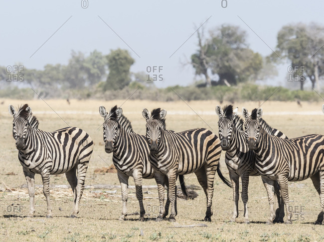 Adult plains zebra (Equus quagga burchellii), in the Okavango Delta, Botswana, Africa