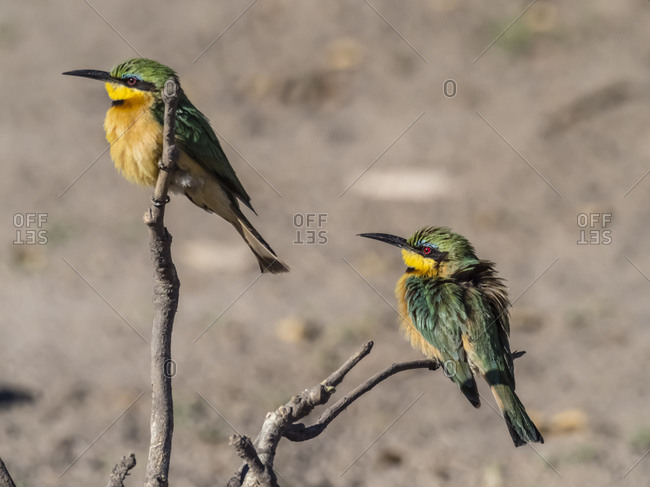 A pair of little bee-eaters (Merops pusillus), perched in Chobe National Park, Botswana, Africa