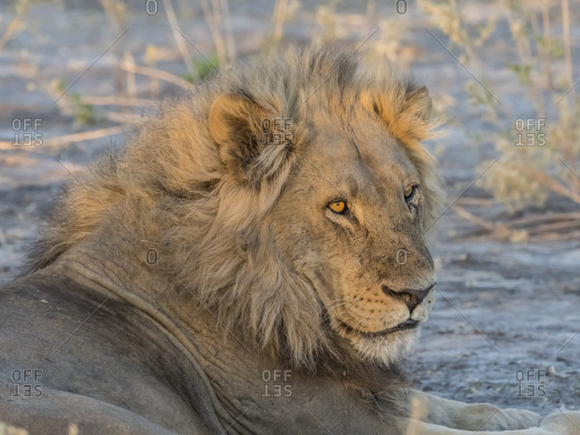 Adult male lion (Panthera leo), in the Okavango Delta, Botswana, Africa