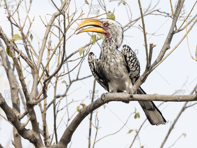 An adult southern yellow-billed hornbill (Tockus leucomelas), in the Okavango Delta, Botswana, Africa